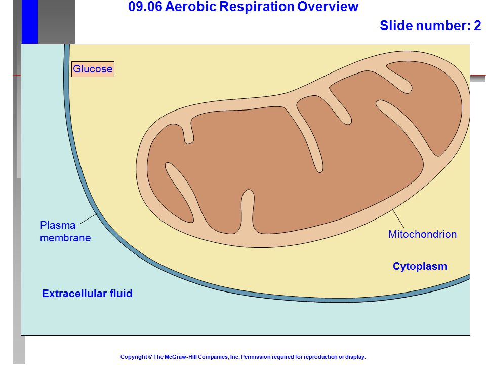 09.06 Aerobic Respiration Overview Slide number: 2 Copyright © The McGraw-Hill Companies, Inc.