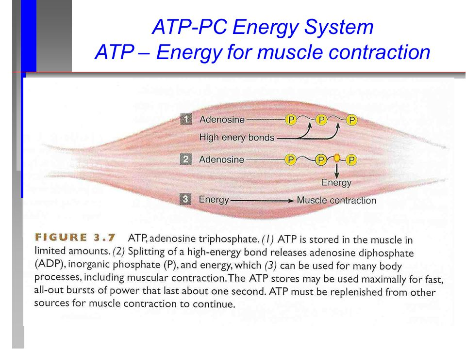 ATP-PC Energy System ATP – Energy for muscle contraction