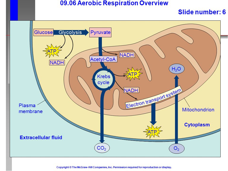 Glucose Plasma membrane Extracellular fluid 09.06 Aerobic Respiration Overview Slide number: 6 Copyright © The McGraw-Hill Companies, Inc.