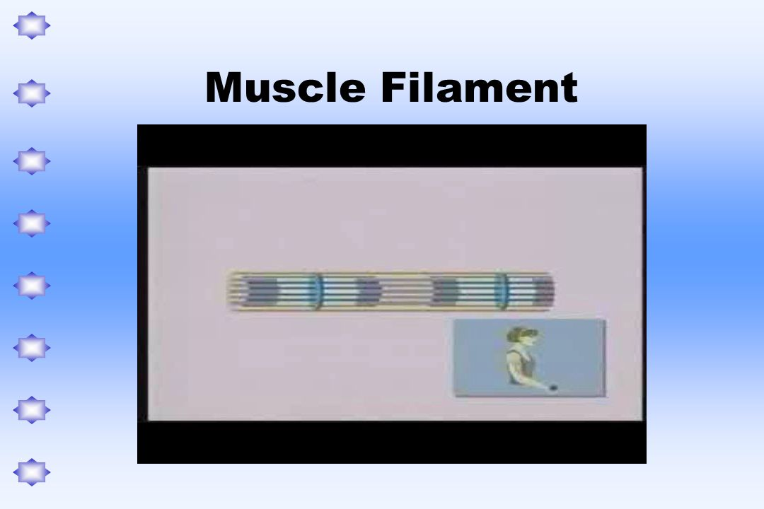 Muscle Filament