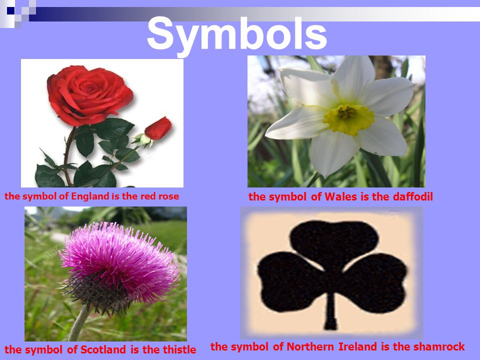 the symbol of England is the red rose the symbol of Wales is the daffodil the symbol of Scotland is the thistle the symbol of Northern Ireland is the shamrock