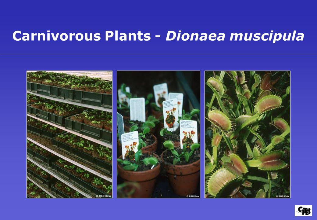Carnivorous Plants - Dionaea muscipula