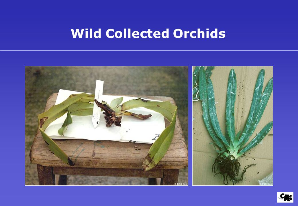 Wild Collected Orchids