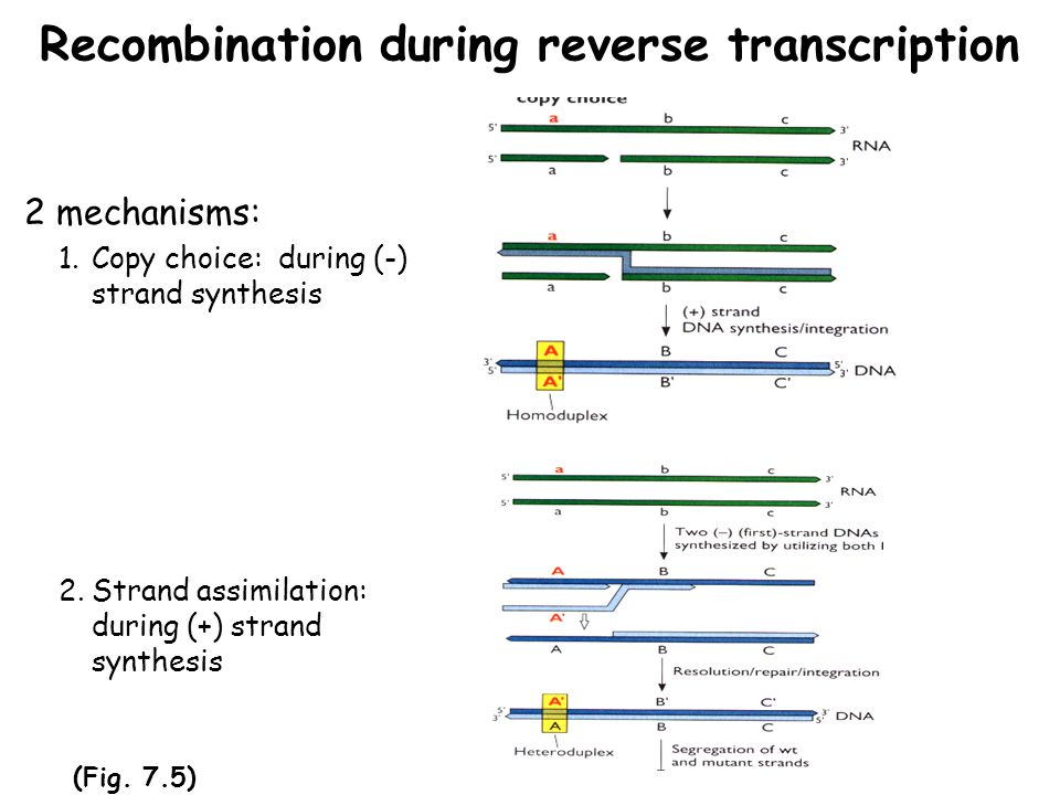 Recombination during reverse transcription 2 mechanisms: 1.Copy choice: during (-) strand synthesis 2.Strand assimilation: during (+) strand synthesis