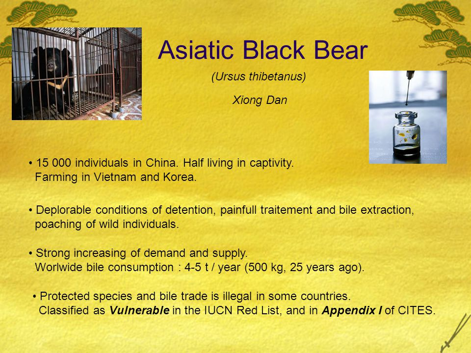 Asiatic Black Bear 15 000 individuals in China. Half living in captivity. Farming in Vietnam and Korea. Protected species and bile trade is illegal in