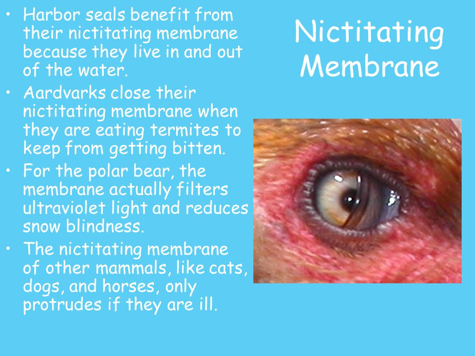 Nictitating Membrane Harbor seals benefit from their nictitating membrane because they live in and out of the water.
