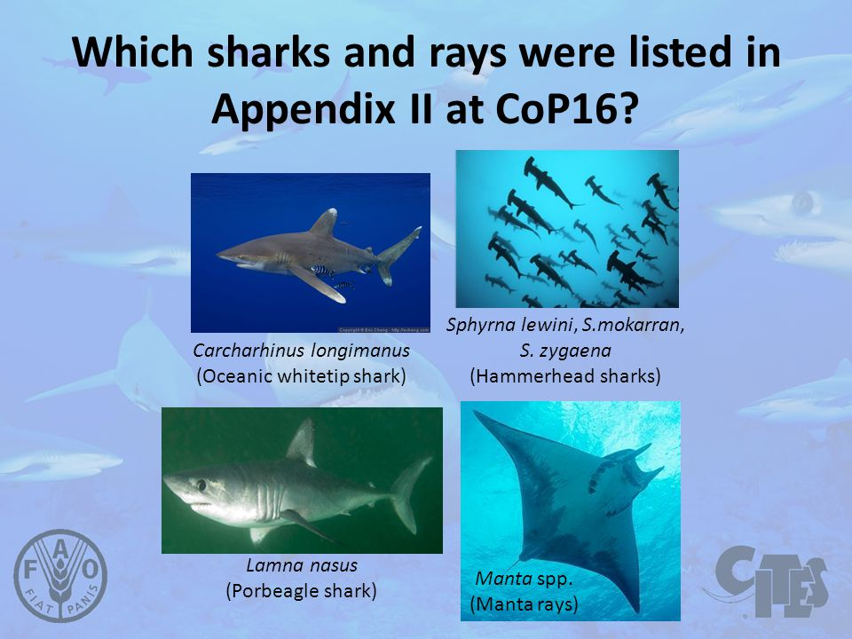 Which sharks and rays were listed in Appendix II at CoP16.