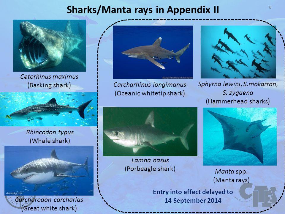 6 Sharks/Manta rays in Appendix II Cetorhinus maximus (Basking shark) Manta spp.