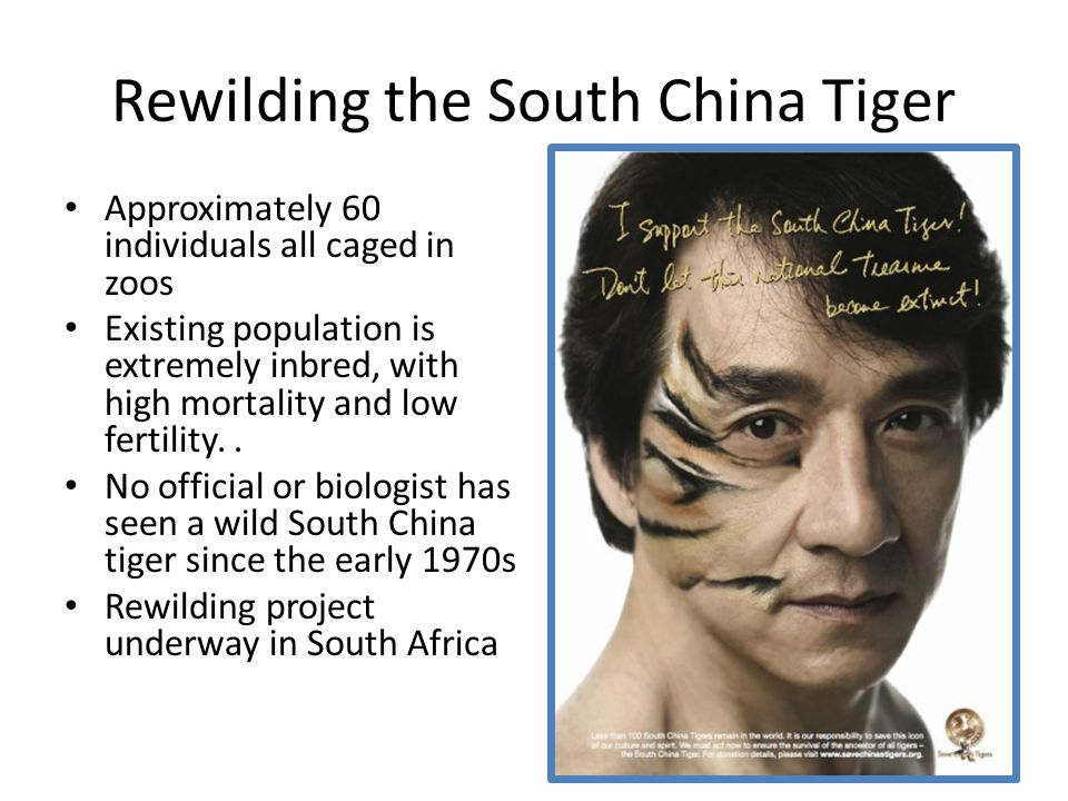 Rewilding the South China Tiger Approximately 60 individuals all caged in zoos Existing population is extremely inbred, with high mortality and low fertility..