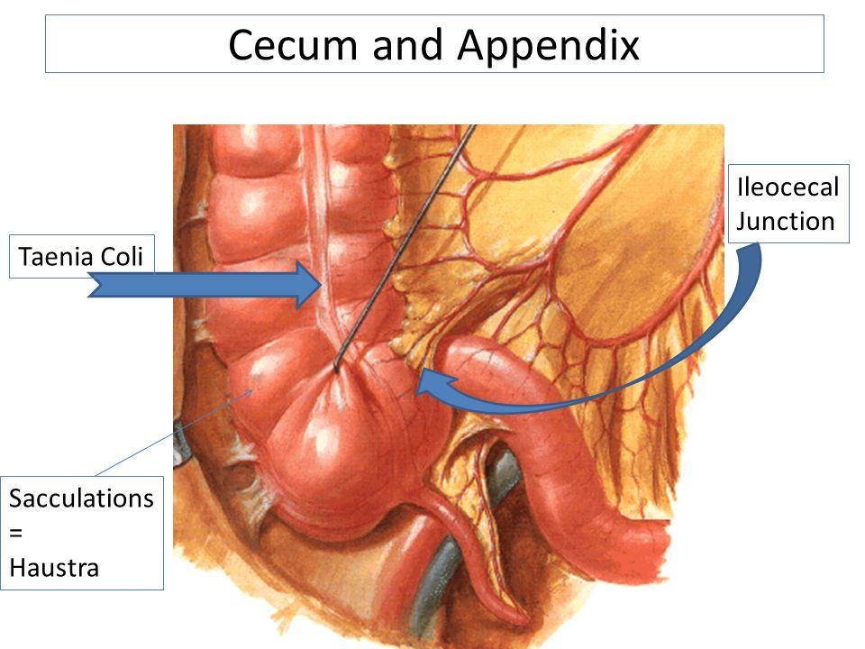 Cecum and Appendix Ileocecal Junction Taenia Coli Sacculations = Haustra