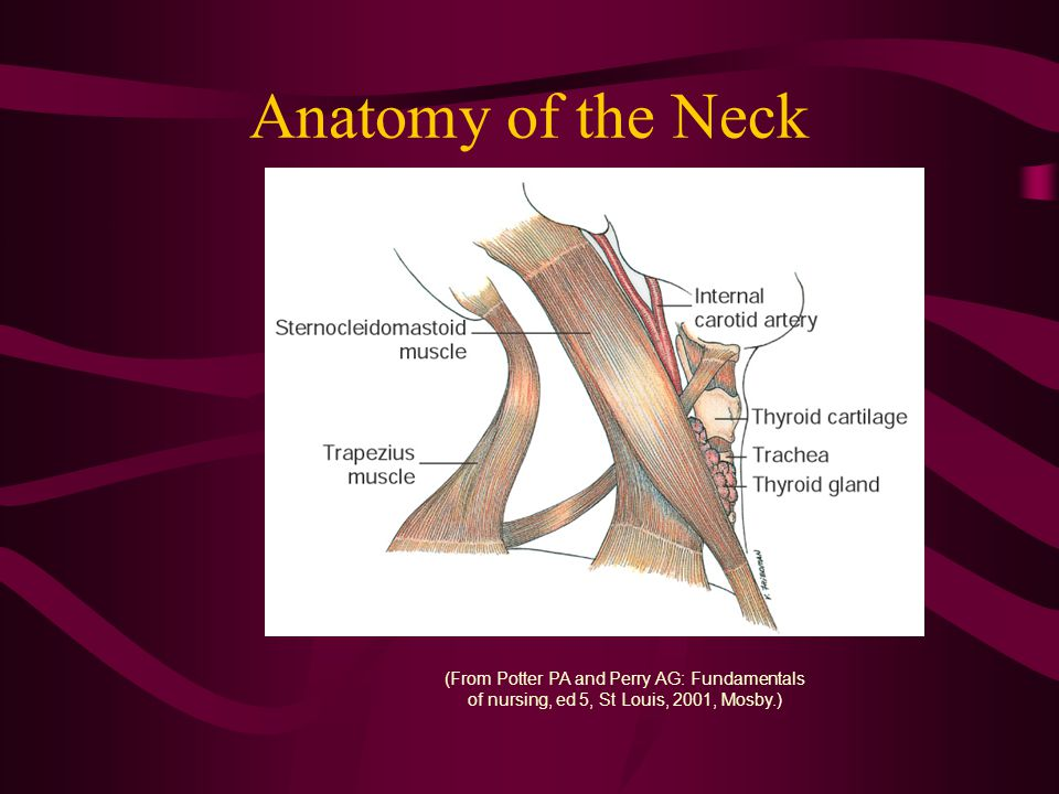Anatomy of the Neck (From Potter PA and Perry AG: Fundamentals of nursing, ed 5, St Louis, 2001, Mosby.)