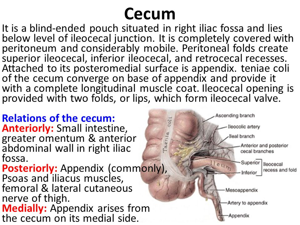 Cecum It is a blind-ended pouch situated in right iliac fossa and lies below level of ileocecal junction. It is completely covered with peritoneum and