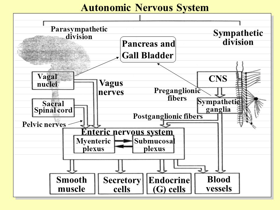 Vagal nuclei Sacral Spinal cord Pelvic nerves Vagus nerves Enteric nervous system CNS Preganglionic fibers Postganglionic fibers Myenteric plexus Submucosal plexus Smooth muscle Secretory cells Endocrine (G) cells Blood vessels Parasympathetic division Sympathetic division Sympathetic ganglia Pancreas and Gall Bladder Autonomic Nervous System