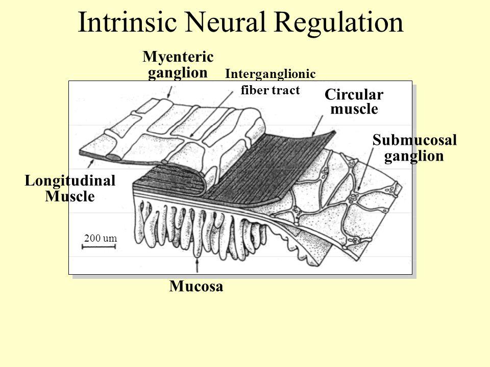 Interganglionic fiber tract Myenteric ganglion Circular muscle Submucosal ganglion 200 um Mucosa Longitudinal Muscle Intrinsic Neural Regulation