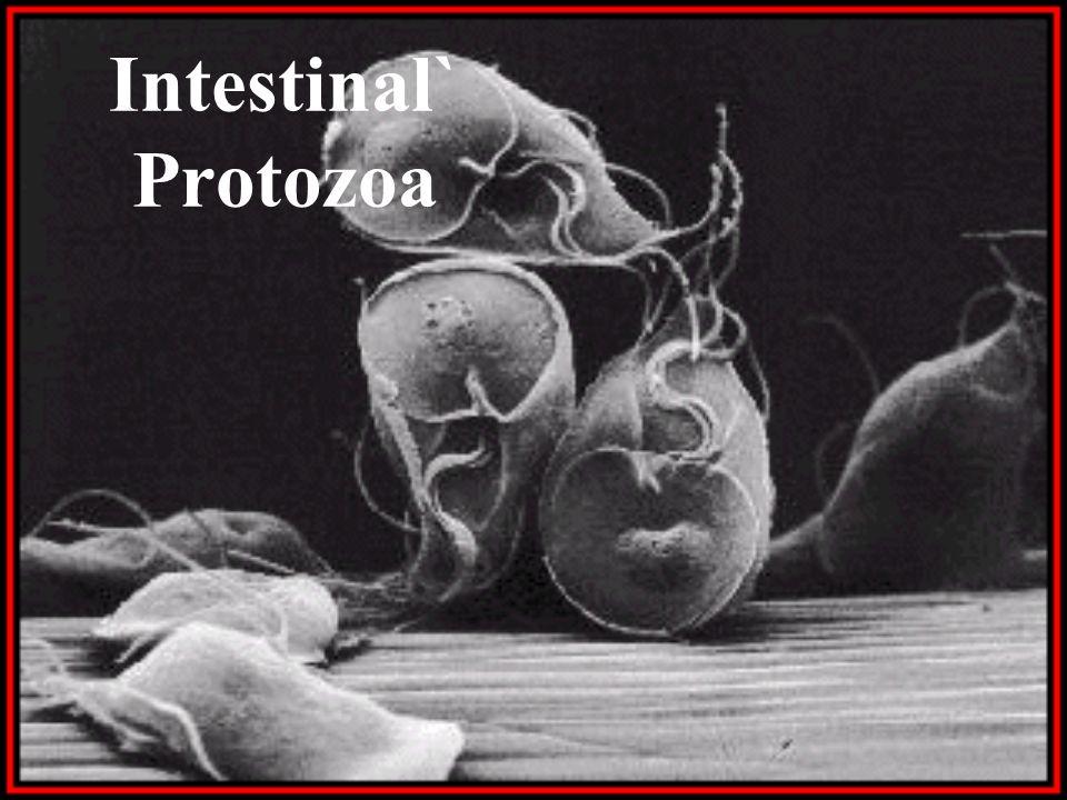 Intestinal` Protozoa