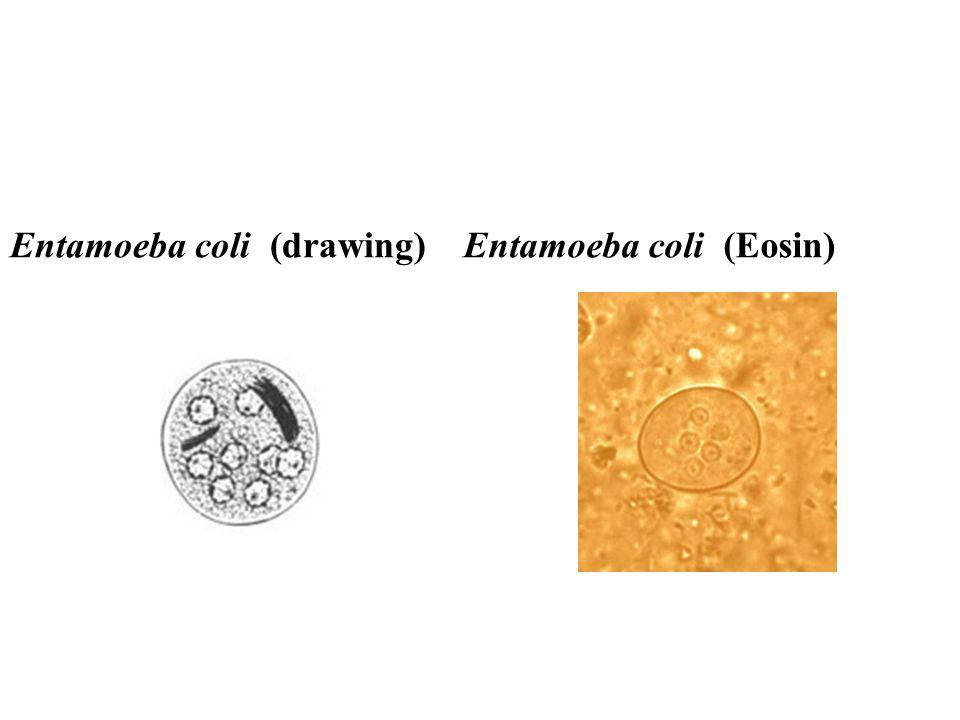 Entamoeba coli (drawing)Entamoeba coli (Eosin)