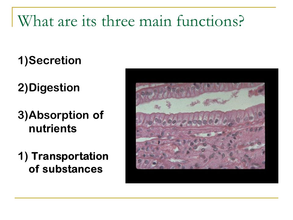 What are its three main functions? 1)Secretion 2)Digestion 3)Absorption o f nutrients 1) Transportation of substances