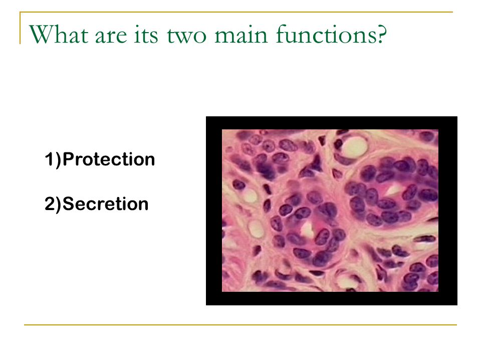 What are its two main functions 1)Protection 2)Secretion