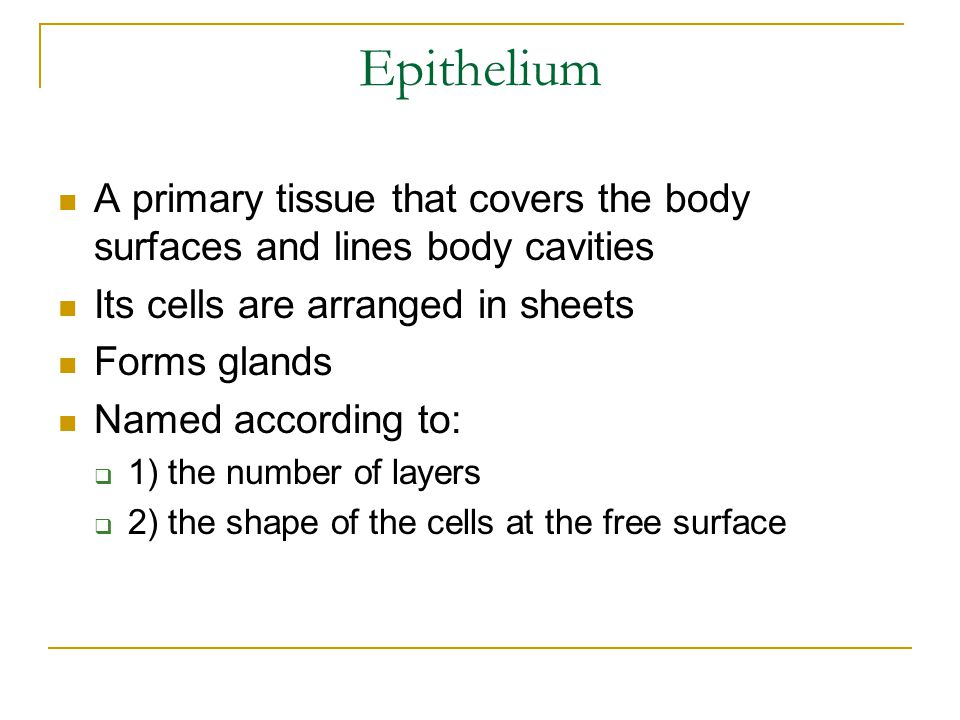 Epithelium A primary tissue that covers the body surfaces and lines body cavities Its cells are arranged in sheets Forms glands Named according to:  1) the number of layers  2) the shape of the cells at the free surface