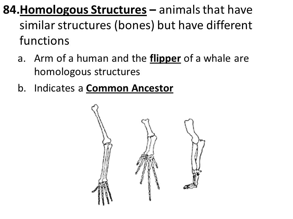 84.Homologous Structures – animals that have similar structures (bones) but have different functions a.Arm of a human and the flipper of a whale are homologous structures b.Indicates a Common Ancestor