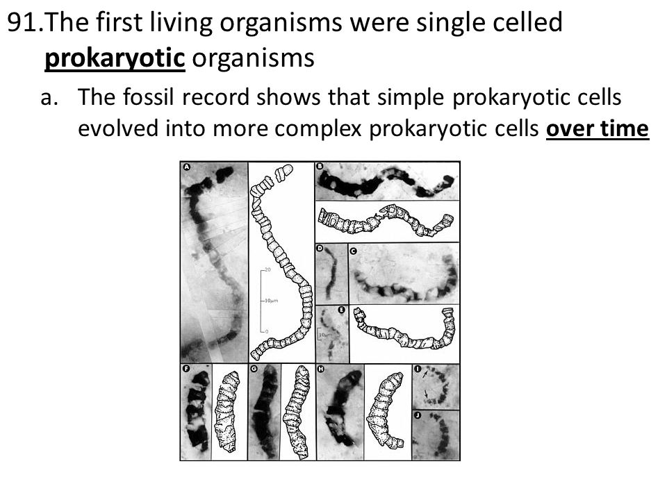 91.The first living organisms were single celled prokaryotic organisms a.The fossil record shows that simple prokaryotic cells evolved into more complex prokaryotic cells over time