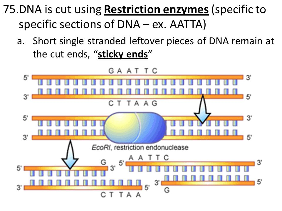 76.Genetic engineering – use of tools to modify the DNA sequences (genetic code) of an organism a.Removal of a gene or genes from one organism and adds them to the genes of another organism (ex.