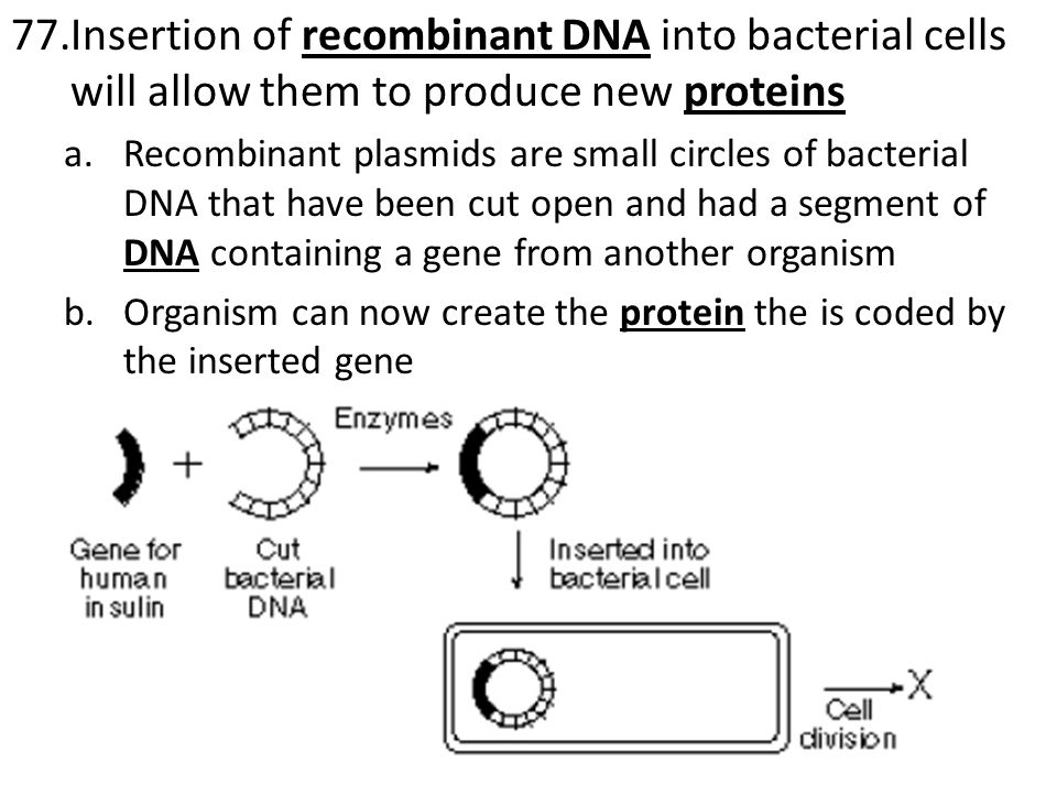 77.Insertion of recombinant DNA into bacterial cells will allow them to produce new proteins a.Recombinant plasmids are small circles of bacterial DNA that have been cut open and had a segment of DNA containing a gene from another organism b.Organism can now create the protein the is coded by the inserted gene