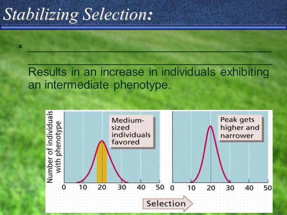 Stabilizing Selection:  _____________________________________ _____________________________________ Results in an increase in individuals exhibiting an intermediate phenotype.