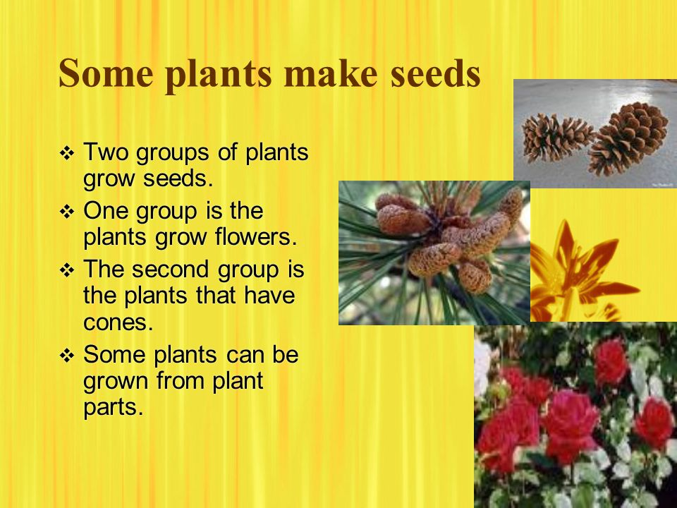 Some plants make seeds  Two groups of plants grow seeds.  One group is the plants grow flowers.  The second group is the plants that have cones. 