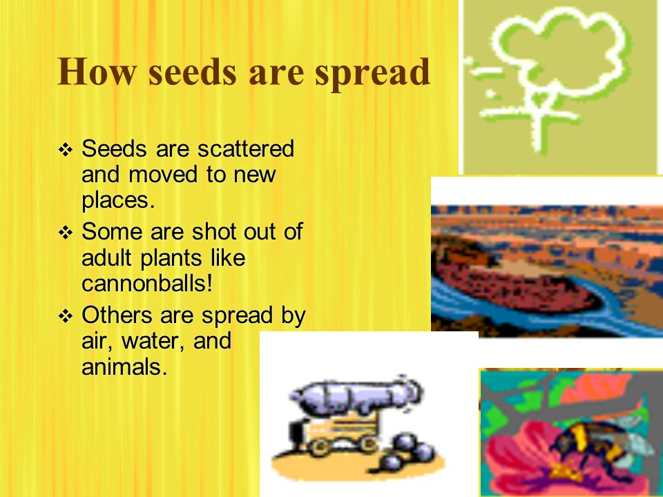 How seeds are spread  Seeds are scattered and moved to new places.  Some are shot out of adult plants like cannonballs!  Others are spread by air,