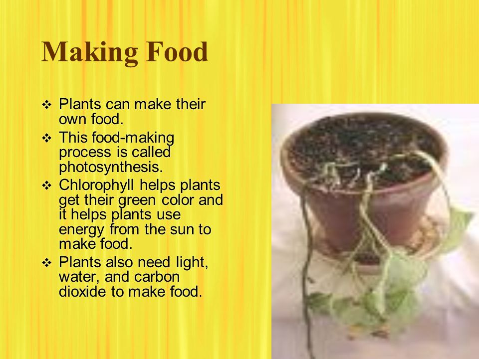 Making Food  Plants can make their own food.  This food-making process is called photosynthesis.  Chlorophyll helps plants get their green color an