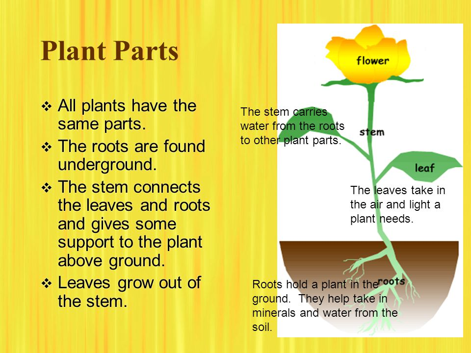Plant Parts  All plants have the same parts.  The roots are found underground.  The stem connects the leaves and roots and gives some support to th