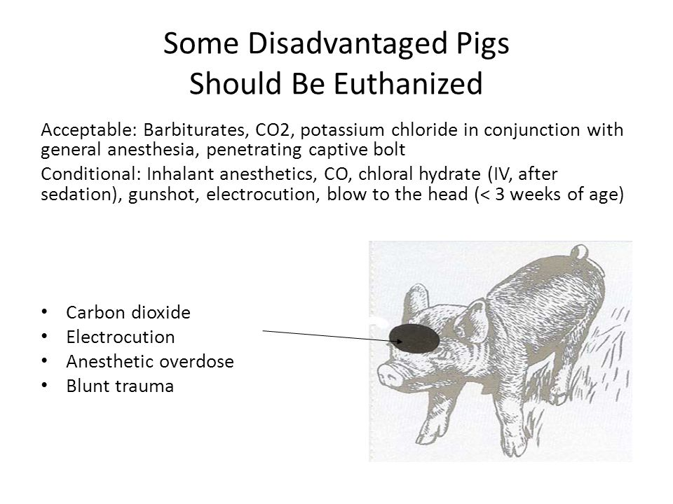 Some Disadvantaged Pigs Should Be Euthanized Acceptable: Barbiturates, CO2, potassium chloride in conjunction with general anesthesia, penetrating cap