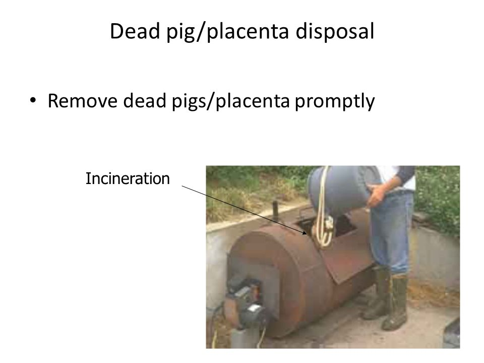 Dead pig/placenta disposal Remove dead pigs/placenta promptly Incineration