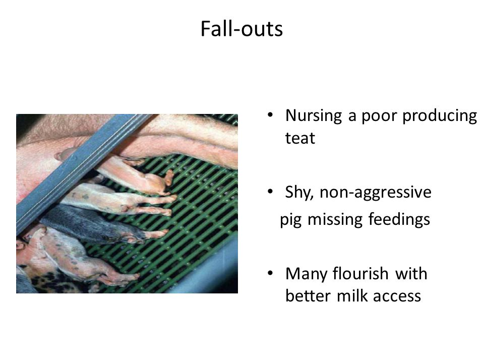 Fall-outs Nursing a poor producing teat Shy, non-aggressive pig missing feedings Many flourish with better milk access