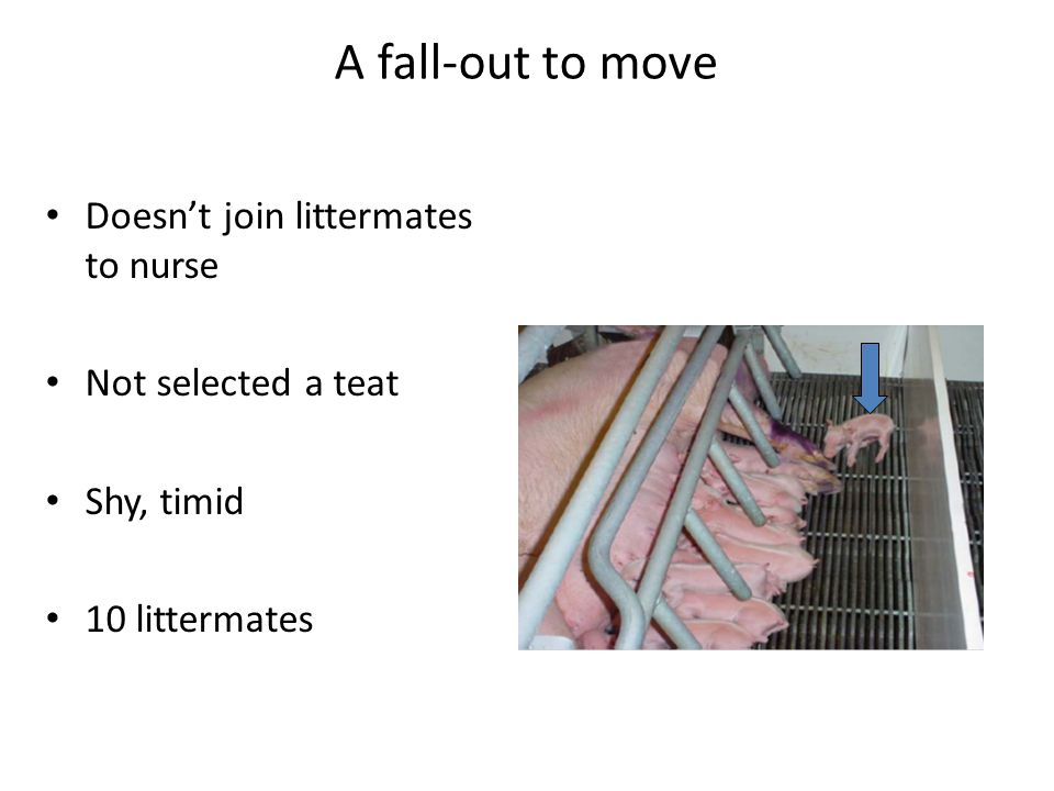 A fall-out to move Doesn't join littermates to nurse Not selected a teat Shy, timid 10 littermates