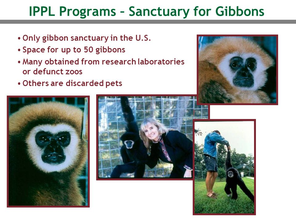 IPPL Programs – Sanctuary for Gibbons Only gibbon sanctuary in the U.S. Space for up to 50 gibbons Many obtained from research laboratories or defunct