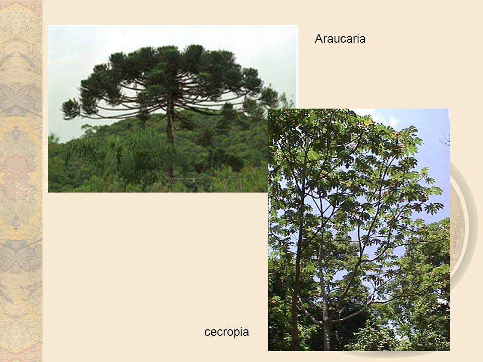 Araucaria cecropia