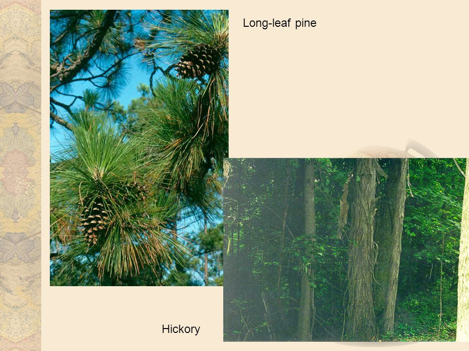 Long-leaf pine Hickory