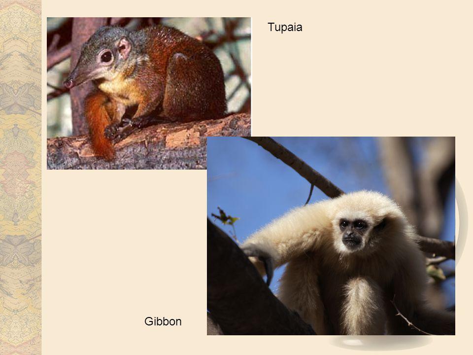 Tupaia Gibbon