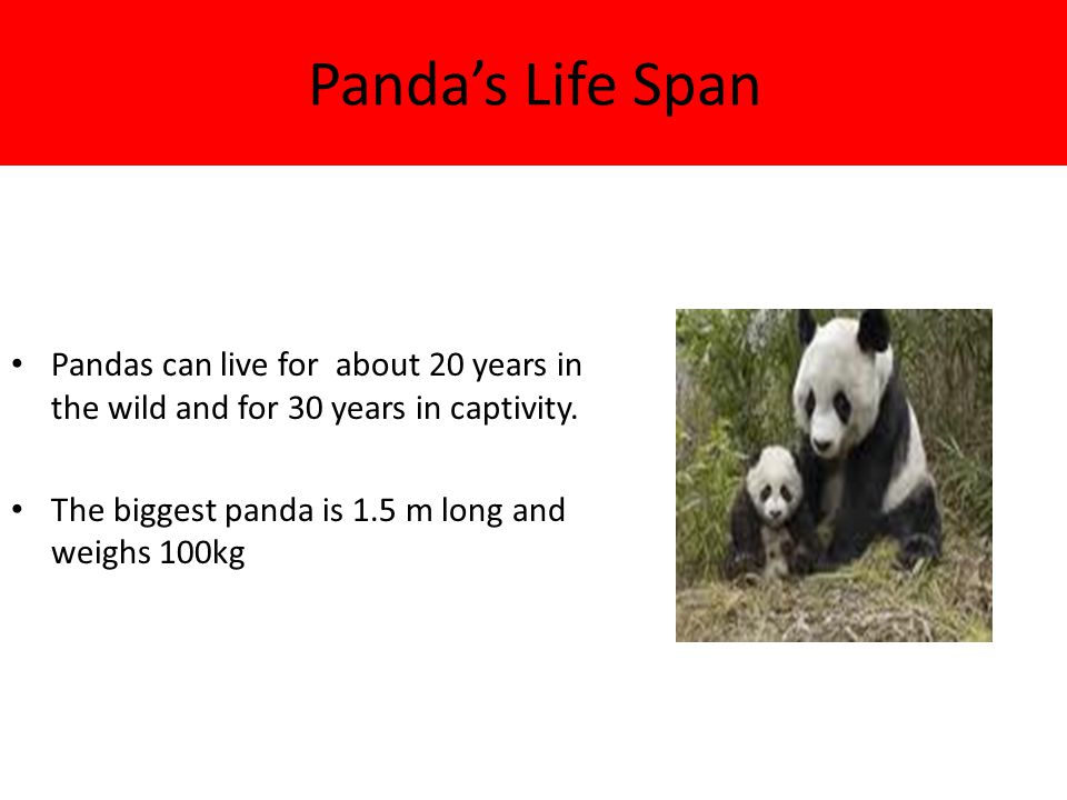 Panda's Life Span Pandas can live for about 20 years in the wild and for 30 years in captivity.