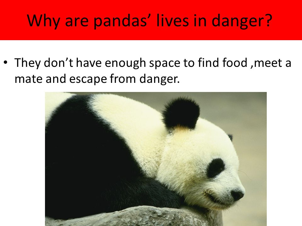 Why are pandas' lives in danger.