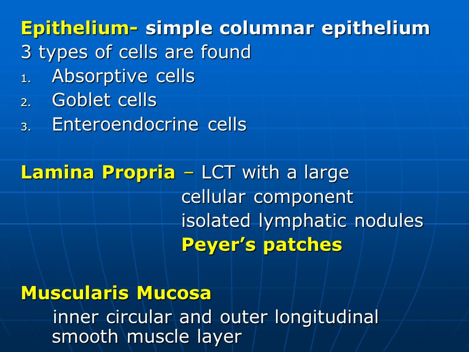 Epithelium- simple columnar epithelium 3 types of cells are found 1.