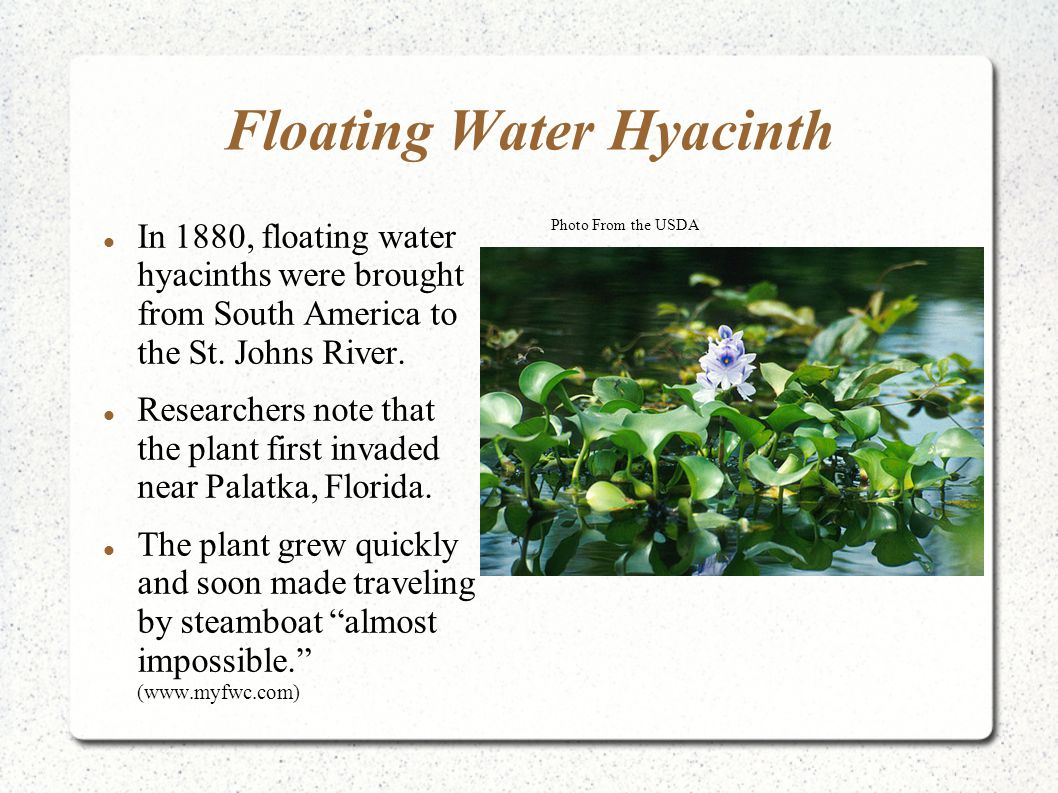 Floating Water Hyacinth In 1880, floating water hyacinths were brought from South America to the St. Johns River. Researchers note that the plant firs