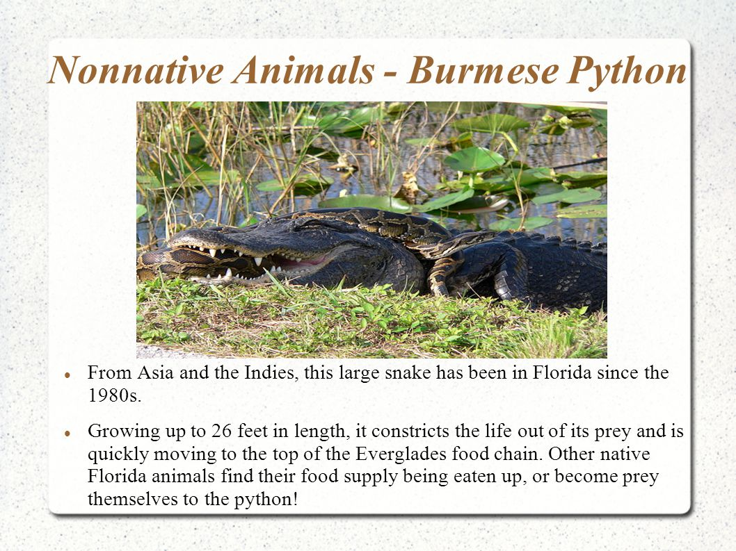 Nonnative Animals - Burmese Python From Asia and the Indies, this large snake has been in Florida since the 1980s. Growing up to 26 feet in length, it
