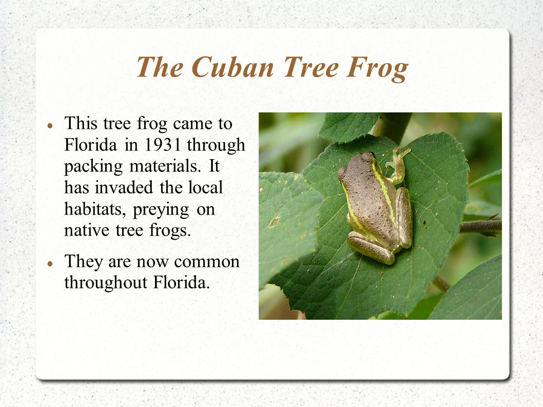 The Cuban Tree Frog This tree frog came to Florida in 1931 through packing materials. It has invaded the local habitats, preying on native tree frogs.