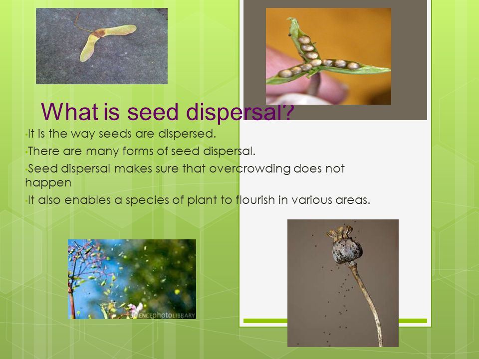 Why is seed dispersal important? By group SEEDS (10) P5E