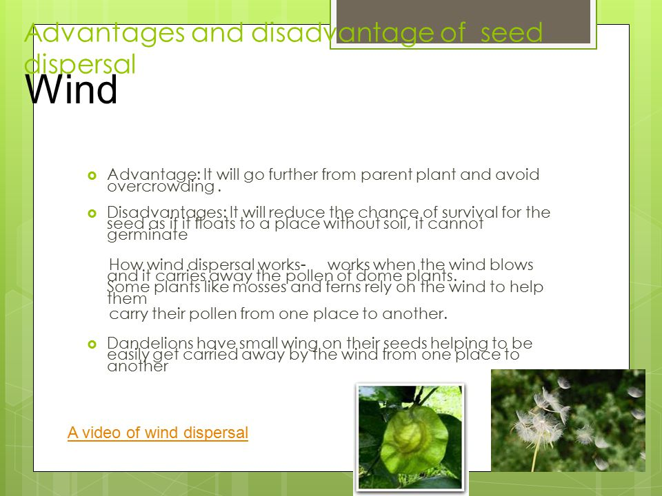 Advantages and disadvantage of seed dispersal  Advantage: It will go further from parent plant and avoid overcrowding.