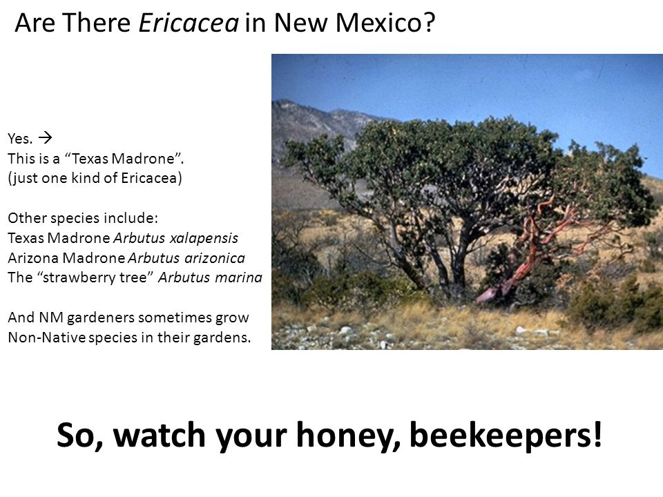 Are There Ericacea in New Mexico. Yes.  This is a Texas Madrone .