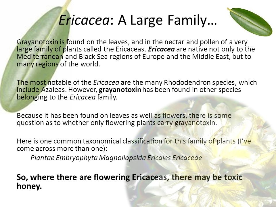 Ericacea: A Large Family… Grayanotoxin is found on the leaves, and in the nectar and pollen of a very large family of plants called the Ericaceas.